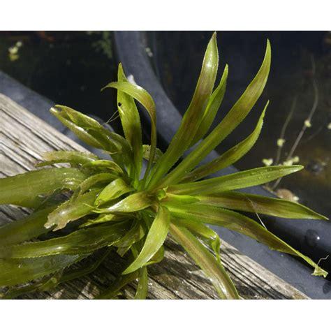 pflanzen shop naturagart shop krebsschere kaufen