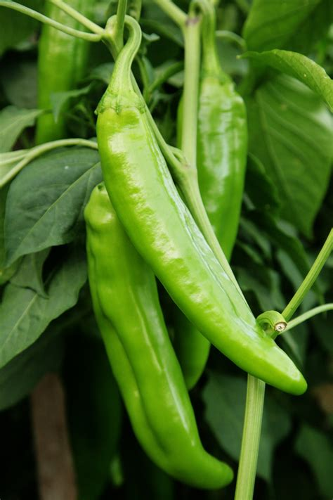 anaheim chile pepper seeds elevenbyevelyn
