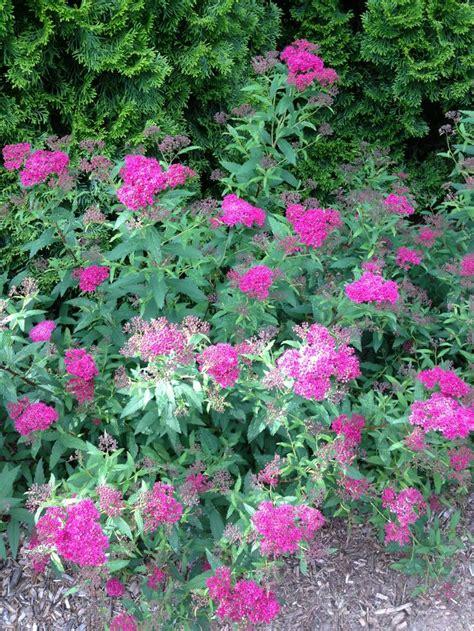 spirea shrub 2013 gardening pinterest