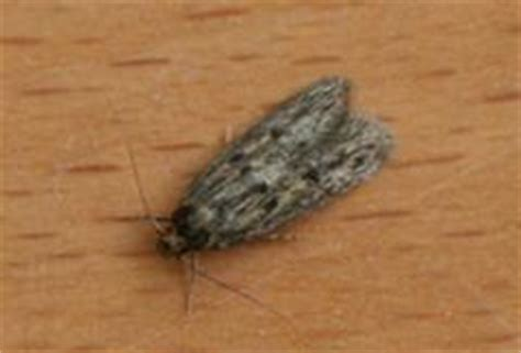 how to get rid of house moths image gallery moths in the house