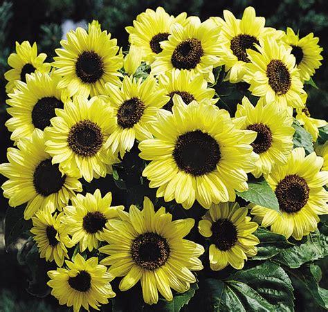No Sun Plants Indoor by Helianthus Annuus Valentine Annual Benary