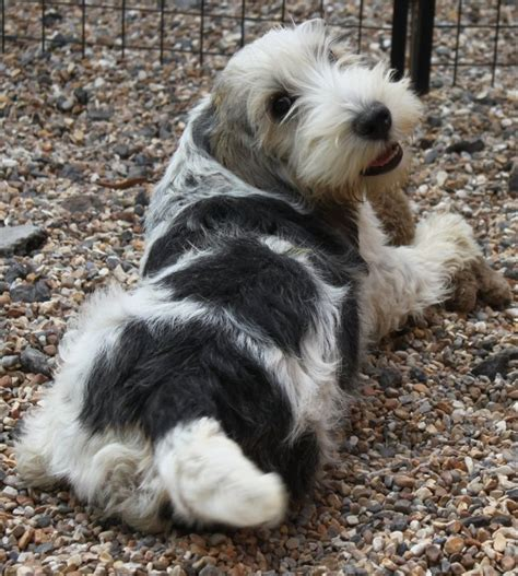 pbgv puppies pin by pat carr on pbgv dogs