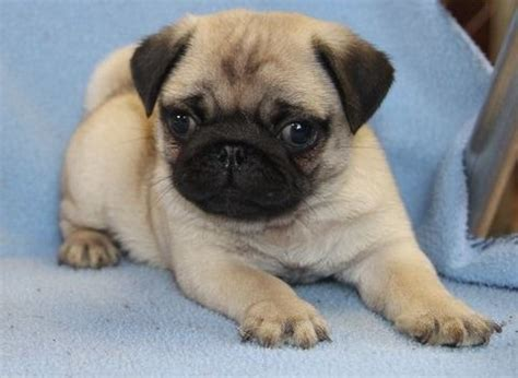 puppies for sale in bakersfield ca pug puppies for sale near bakersfield ca within 200