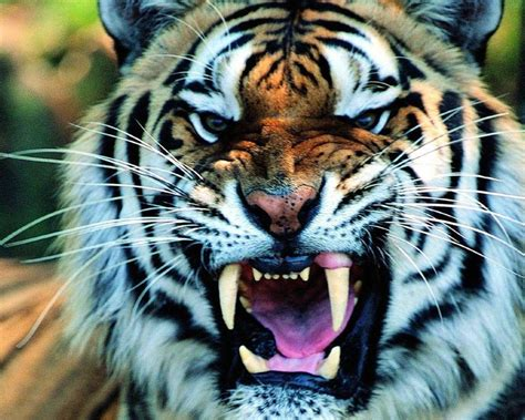 imagenes de tigres de bengala image gallery imagenes de tigres
