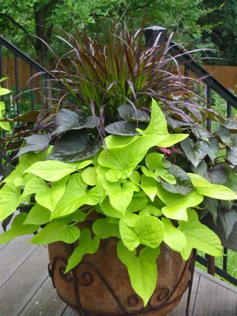 Plant Combination Ideas For Container Gardens Signature Gardens Containers Annuals Summer