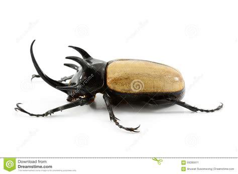 Rhinoceros Beetle Isolated On White Background. Stock Photo   Image: 59285911
