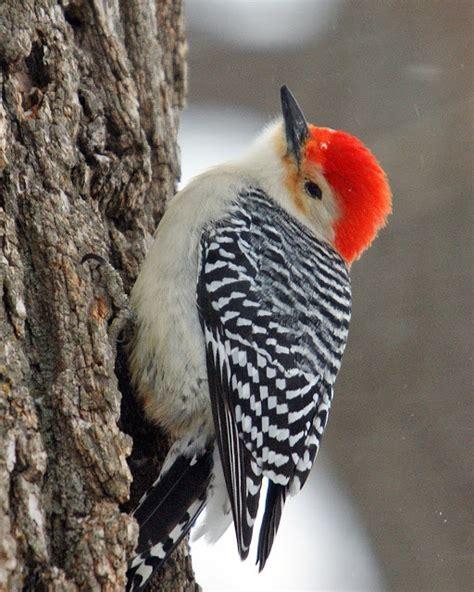 red bellied woodpecker birds pinterest beautiful