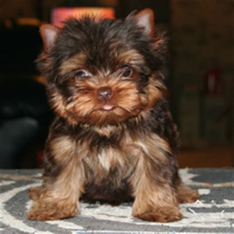 brown teacup yorkie the gallery for gt brown yorkie