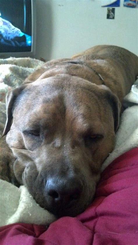 pitbull mastiff puppies 25 best ideas about mastiff mix on great dane mix mutt puppies and