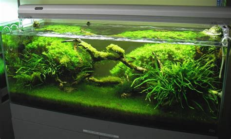 Hair Grass Aquascape by Aquarium Plants Grass What Grass Plant Caudata Org