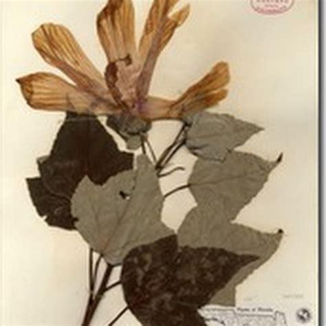 cara membuat obat bius dari bunga kecubung cara cara membuat herbarium