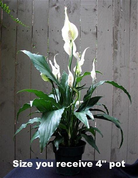 great house plants peace lily plant spathyphyllium great house plant