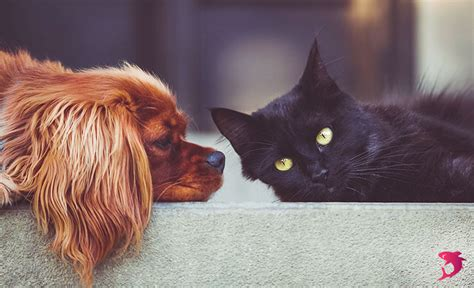 Compare Cats And Dogs Essay by Dogs Vs Cats Compare And Contrast Essay