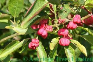 Planting Climbing Roses - euonymus europaeus spindleberry bushes hedge plants for sale