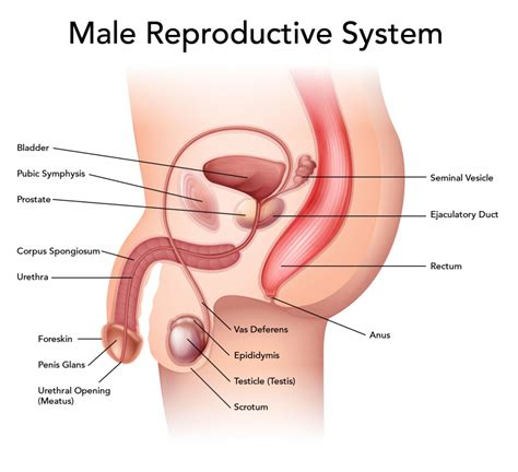 diagram of and reproductive organs organs of the reproductive system human