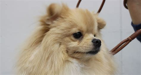 pomeranian personality temperament the pomeranian breed all about the pom