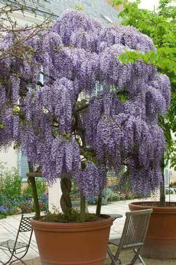 wisteria   pot wisteria tree plants wisteria tree