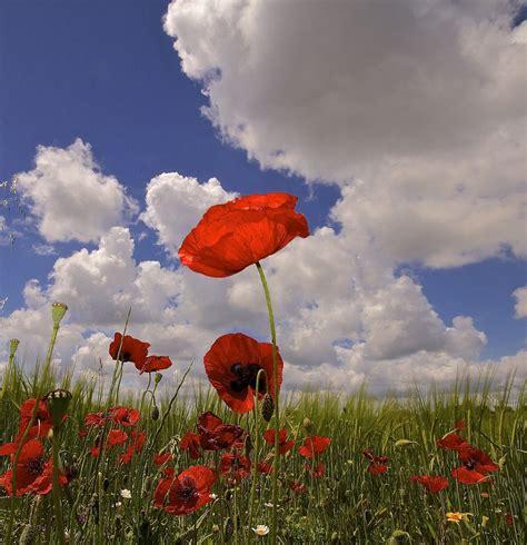 il papavero è anche un fiore il papavero 232 anche un fiore by yago juzaphoto