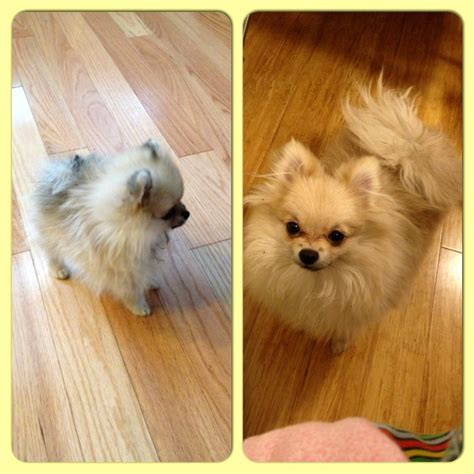 pomeranian on period hopping on one foot minnie