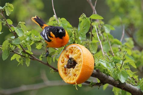 make an orange feeder for orioles audubon