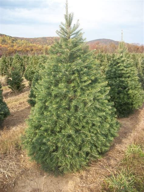 evergreen christmas tree farm photozzle