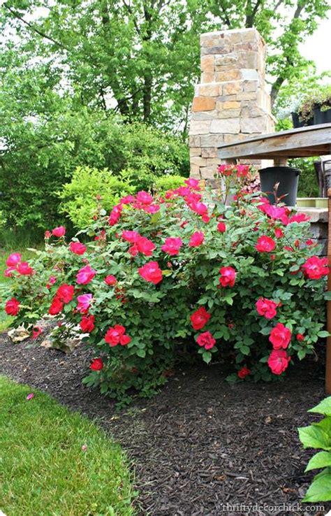 backyards front yards and rose bush on pinterest