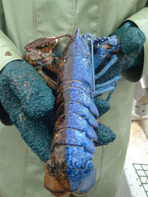 what color are lobsters extremely bi colored lobster in newfoundland