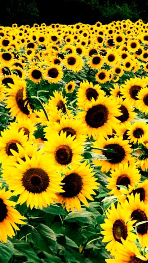 wallpaper for iphone sunflower sunflower iphone wallpaper tumblr