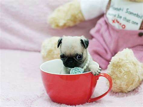 how much are pug puppies in australia the the teacup pug and the chug