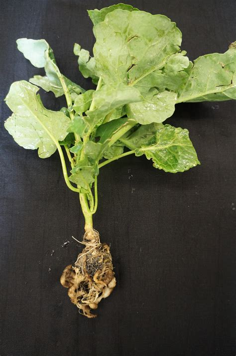 broccoli plant diseases managing clubroot in vegetable brassica crops