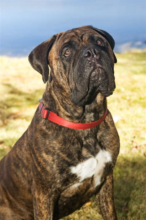 bullmastiff puppy saved by dogs mastiff and bullmastiff