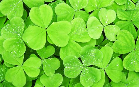 download the dew on clovers wallpaper dew on clovers iphone wallpaper dew on clovers android