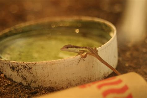what do lizards eat and drink in backyards small pet care long tail grass lizards and anoles baby