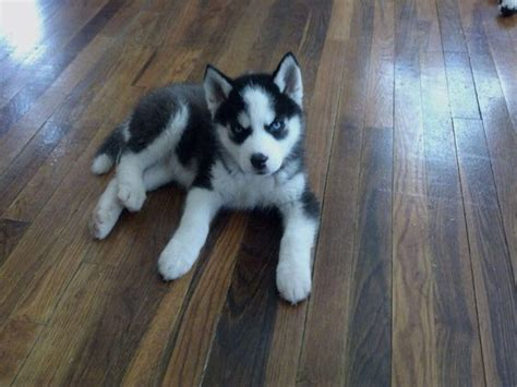 miniature pomeranian husky for sale pomeranians husky pomeranian mix and minis on