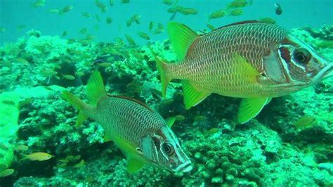 baby shark mp4 maldives kuredu april 2012 underwater video baby shark