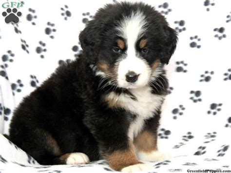 bernese mountain puppies for sale in pa 20 best images about puppy on chow chow bulldog sale and for sale