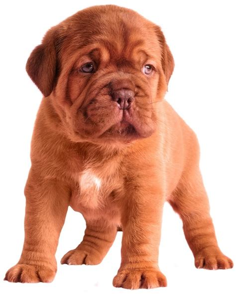 dogue de bordeaux puppy dogue de bordeaux