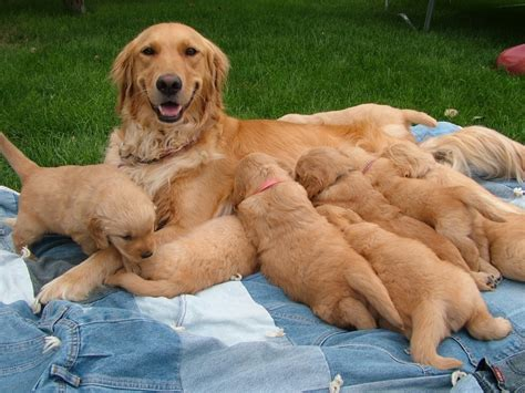 golden retriever puppies for sale near me 2017 attractive golden retriever sale grooming pictures images wallpapers
