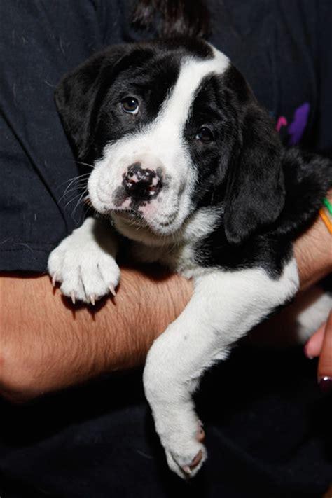 shore animal league puppy shore animal league america s tour for pet adoption event zimbio