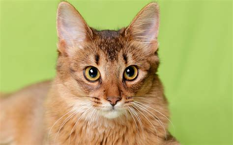 what breed is for me which cat breed is for me pets