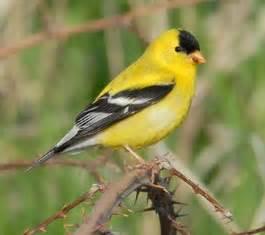 washington state bird willow goldfinch american goldfinch