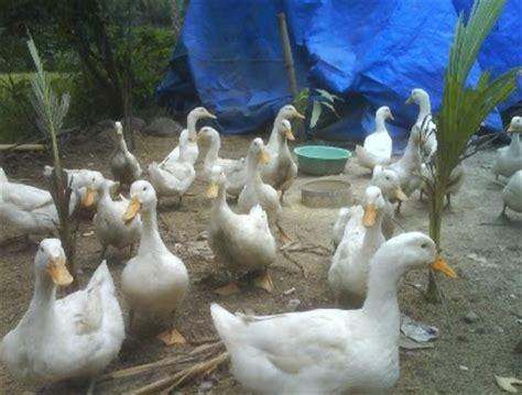 Dod Bebek Peking Betina tanah airku peluang usaha pengembangan bebek peking