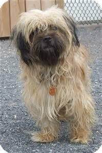is toto a yorkie media pa shih tzu yorkie terrier mix meet teddy a puppy for adoption