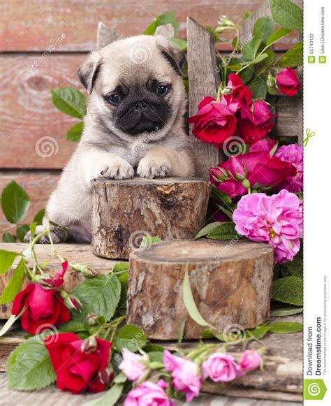 pugs and roses pug puppy and flower roses stock photo image of pedigreed