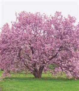 growing the beautiful magnolia tree quarto homes