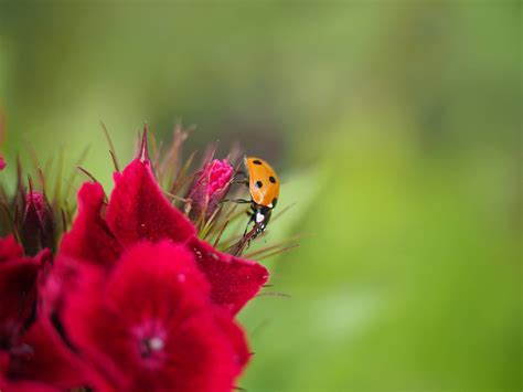 picture summer red flower nature ladybug insect