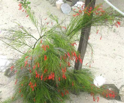 Jual Tanaman Resselia Equisetiformis Bunga Air Mancur jual tanaman hias bunga air mancur merah murah berbakat