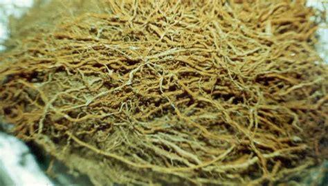 Minyak Akar Wangi tanaman obat akar wangi sebagai obat rematik
