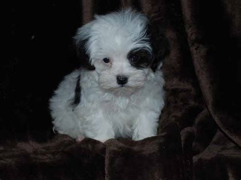 dog haircuts chicago maltipoo happiness is pets blog archive