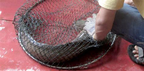 Essen Umpan Ikan Patin Kilo Gebrus Atau Harian Aquatic Essen umpan ikan harian 2015 newhairstylesformen2014